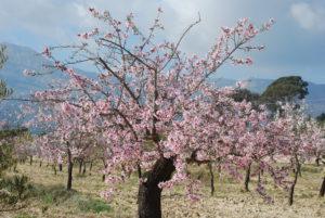 almendros en flor alicante