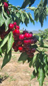 cerezas alicante
